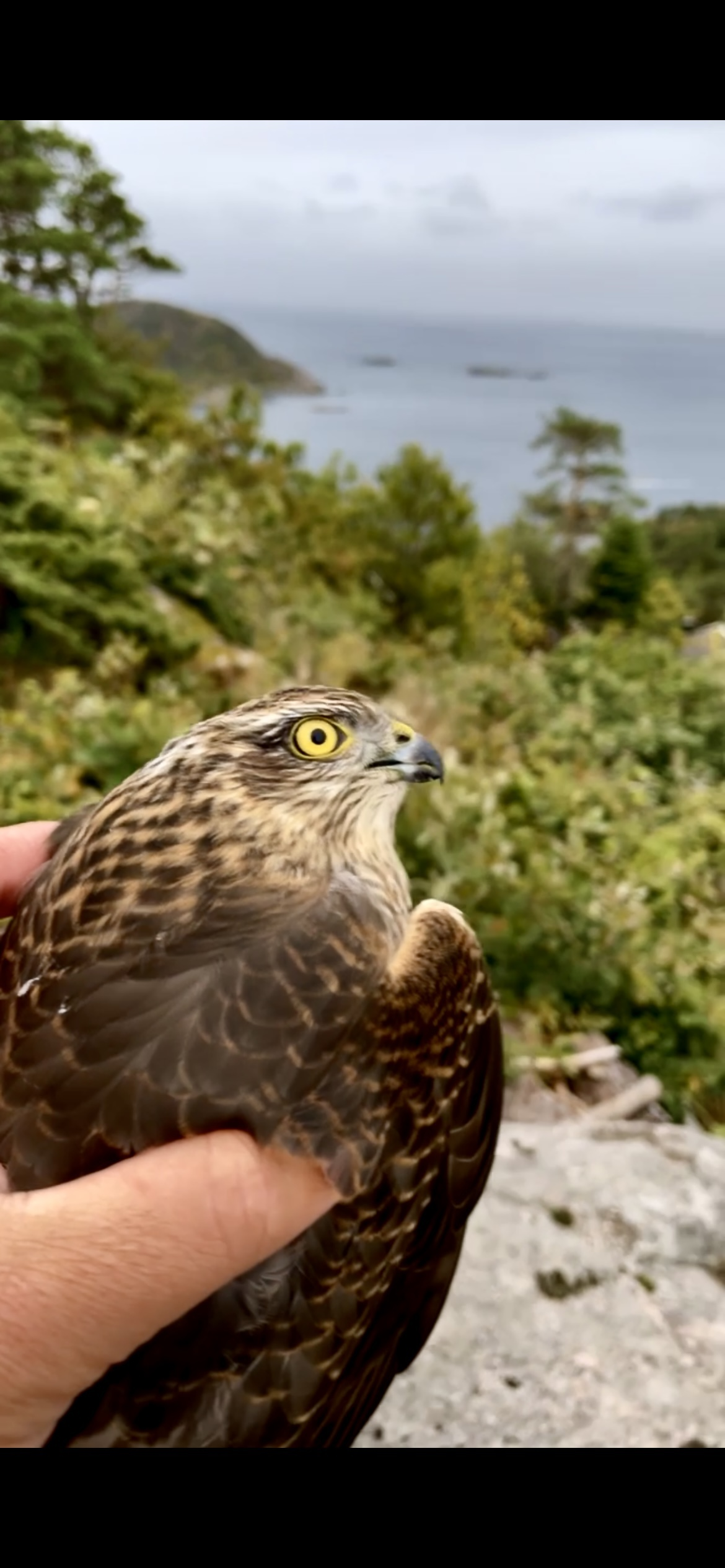 I rescued a hawk! Just a small everyday happystory.